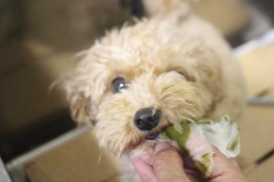 千葉県船橋市のミックス犬の歯磨き画像