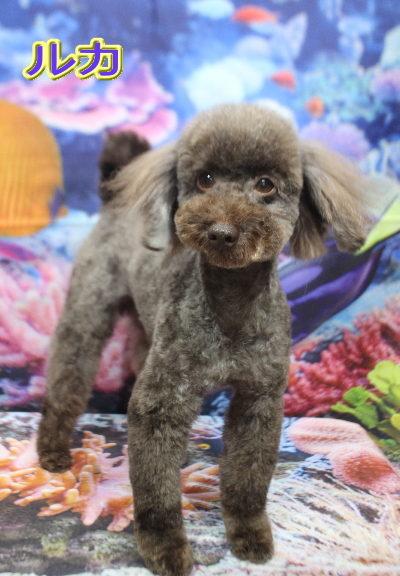 トイプードルブリーダーの成犬、トリミング画像
