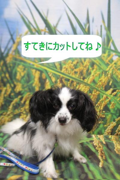 茨城県龍ヶ崎市のパピヨントリミング前画像